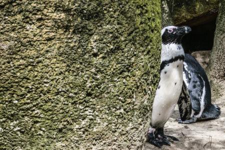 Pinguine im Wuppertaler Zoo