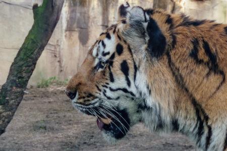 Portrait eines Tigers
