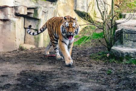 Tiger auf pirsch