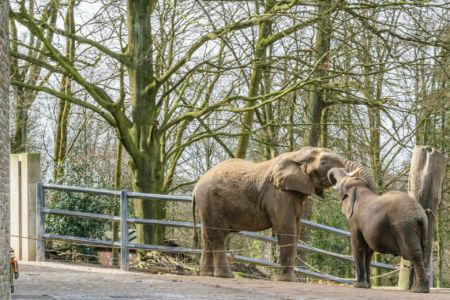 Die Elefanten begrüßen sich