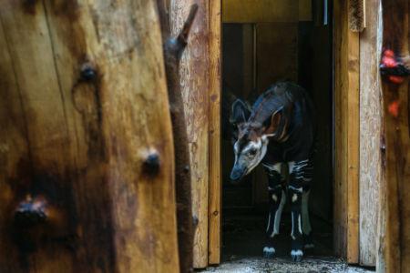 Ein recht junges Okapi