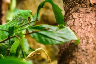 Wuppertaler Zoo | Gebänderter Fidschi-Leguan